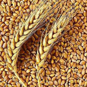 Santosh Organic Wheat